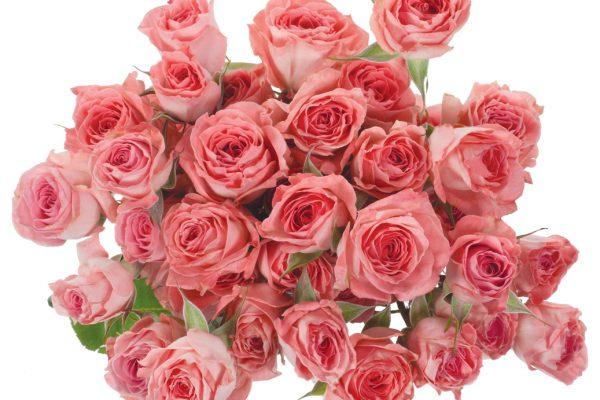 Elegant Rosever