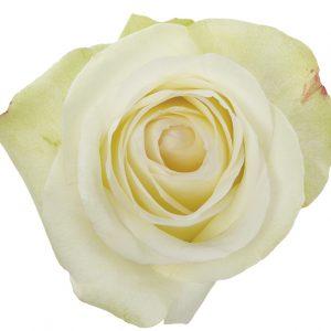 Rose White Alba