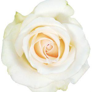 Rose White Amelia