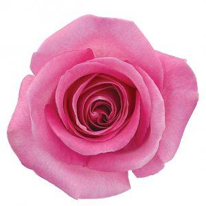 Rose Medium Pink Attache