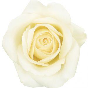 Rose White Blizzard