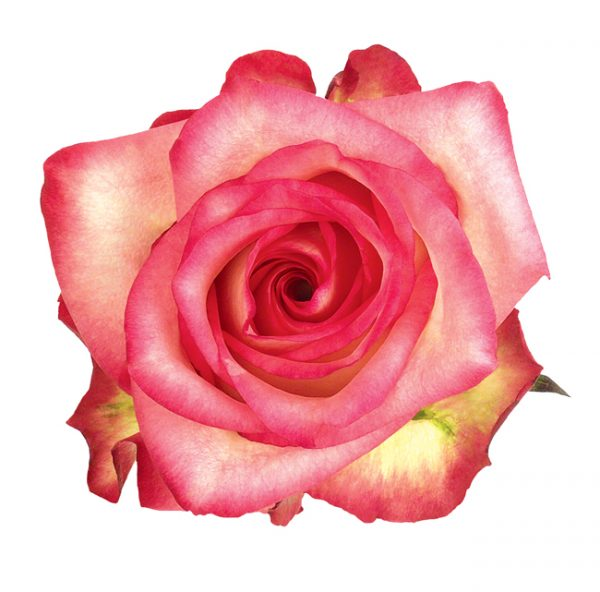 Rose Medium Pink Blush