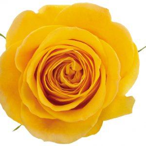 Rose Yellow Brighton