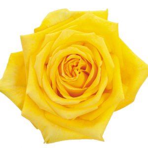 Rose Yellow Caribia