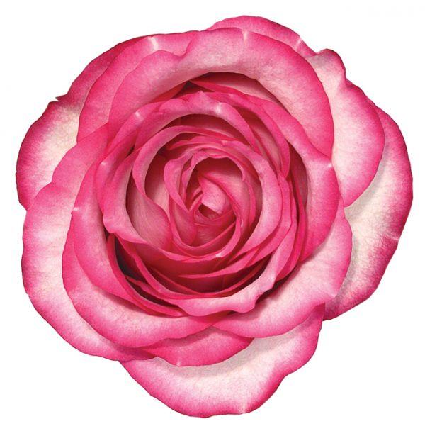 Rose Bi-Color Pink Carousel