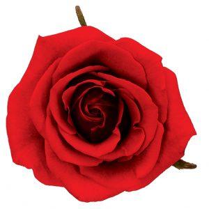 Rose Red Cherry Love