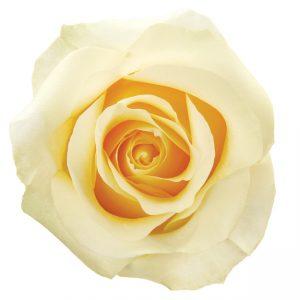 Rose Cream Creme De La Creme