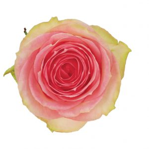 Rose Bi-Color Pink Esperance