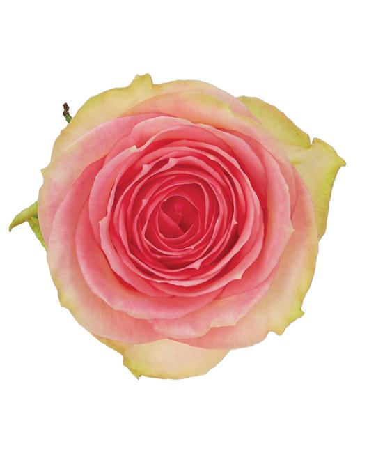 rose bi color pink esperance dvflora