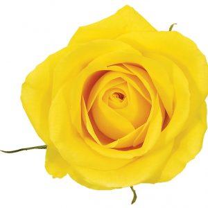 Rose Yellow Gold Strike
