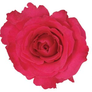 Rose Hot Pink Hot Lady