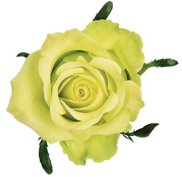 Rose Green Jade