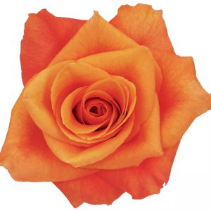 Rose Orange Milva