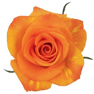 Rose Orange Miracle