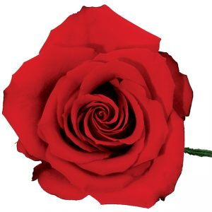 Rose Red Opium