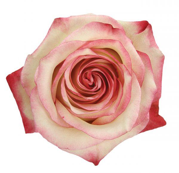 Rose Bi-Color Pink Paloma