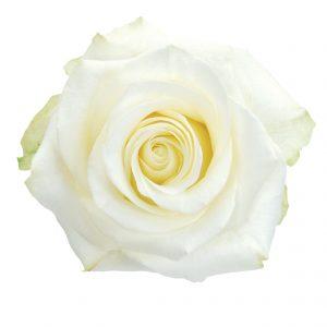 Rose White Polar Star