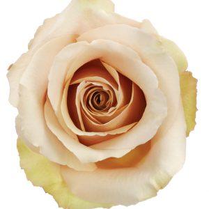 Rose Cream Quicksand