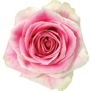 Rose Bi-Color Pink Rosita Vendela