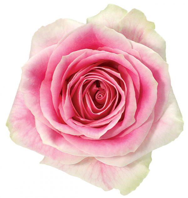 Rose Bi-Color Pink Rosita Vendela