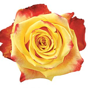 Rose Bi-Color Yellow Salambo