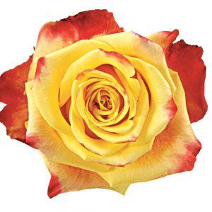 Rose Bi-Color Yellow Salambo