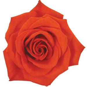 Rose Orange Santana