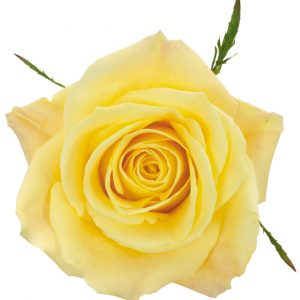 Rose Yellow Skyline