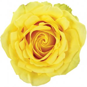 Rose Yellow Stardust