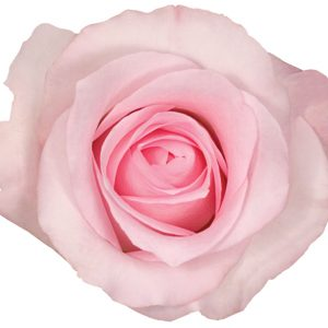 Rose Light Pink Sweet Akito