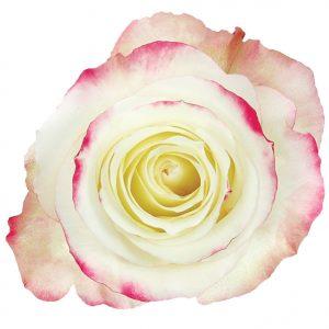 Rose Bi-Color White Sweeetness