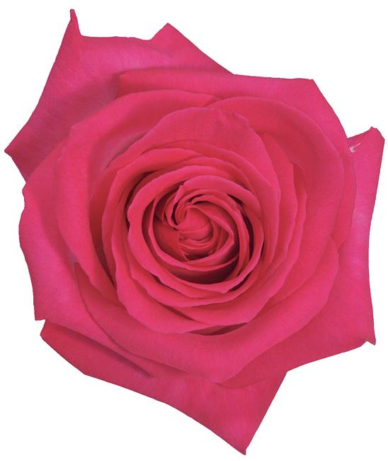 Rose Bi-Color Pink Verdi