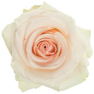 Rose Cream White Wedding