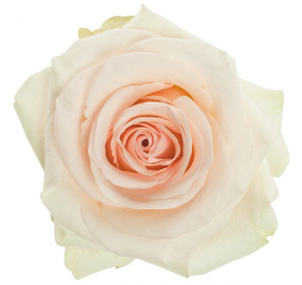 Rose Cream White Wedding