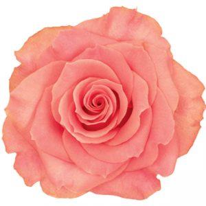 Rose Peach Amsterdam