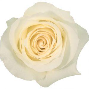 Rose Cream Anastasia