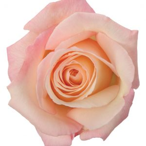 Rose Light Pink Anna