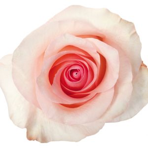 Rose Light Pink Arleene