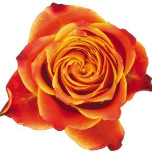 Rose Bi-Color Orange Atomic