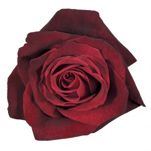 Rose Red Black Baccara