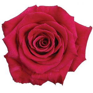 Rose Pink Flash Baccara