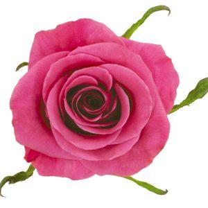 Rose Hot Pink Breezer