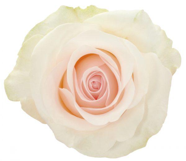 Rose White Bridale Akito