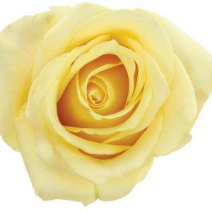 Rose Yellow Butterscotch