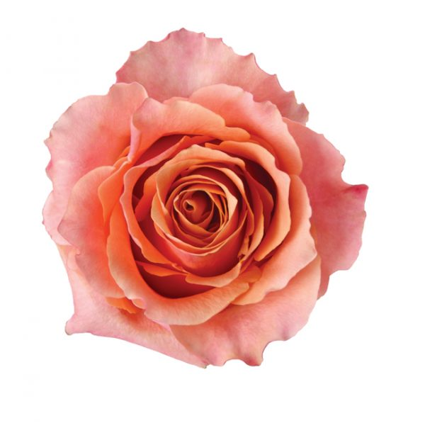 Rose Bi-Color Peach Carpe Diem