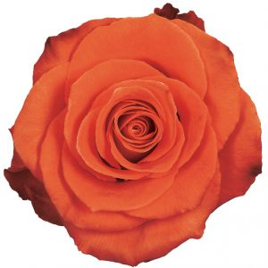 Rose Orange Cartagena