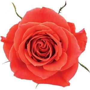 Rose Peach Cayenne