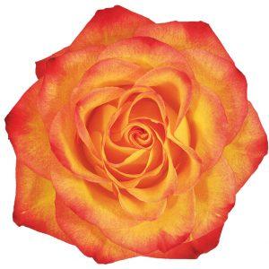 Rose Bi-Color Orange Circus