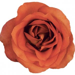 Rose Bi-Color Orange Coffeebreak