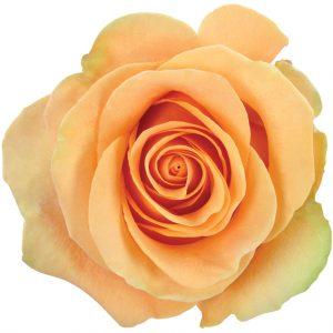 Rose Peach Cumbia
